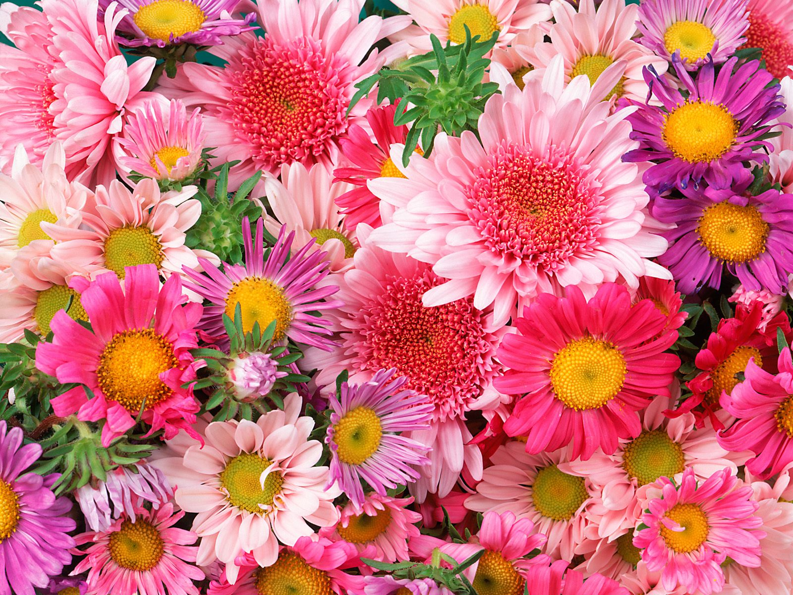 Free Download HQ Daisies and Mums Flowers Wallpaper Num 389 1600 x 1200 49