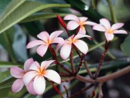 Download Frangipani Flowers / Flowers