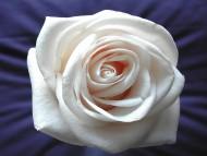 White Rose / Flowers