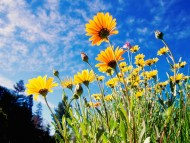 African Daisies / Flowers