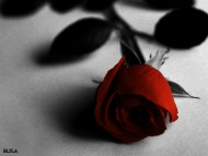 Flower , Flowers , Rose , Red , Red Flower / Flowers