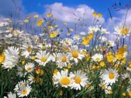 Ox Eye Daisies / Flowers