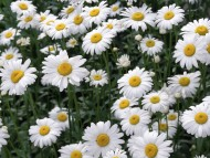 Download Oxeye Daisies / Flowers