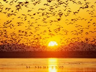 Canada Geese, Tule Lake, National Wildlife Refuge, California, Sunset, Flock Birds / Lakes