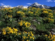 Arrowleaf Balsamroot, Boulder Mountain, Idaho / Mountains
