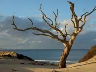 pakiri tree / Ocean