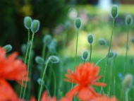 poppies / Plants